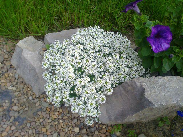 Алиссум Выращивание из семян Посадка Уход