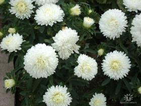 Какие цветы и семена цветов сажать осенью 603