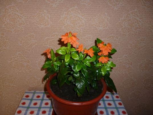 Кроссандра выращивание и уход 29